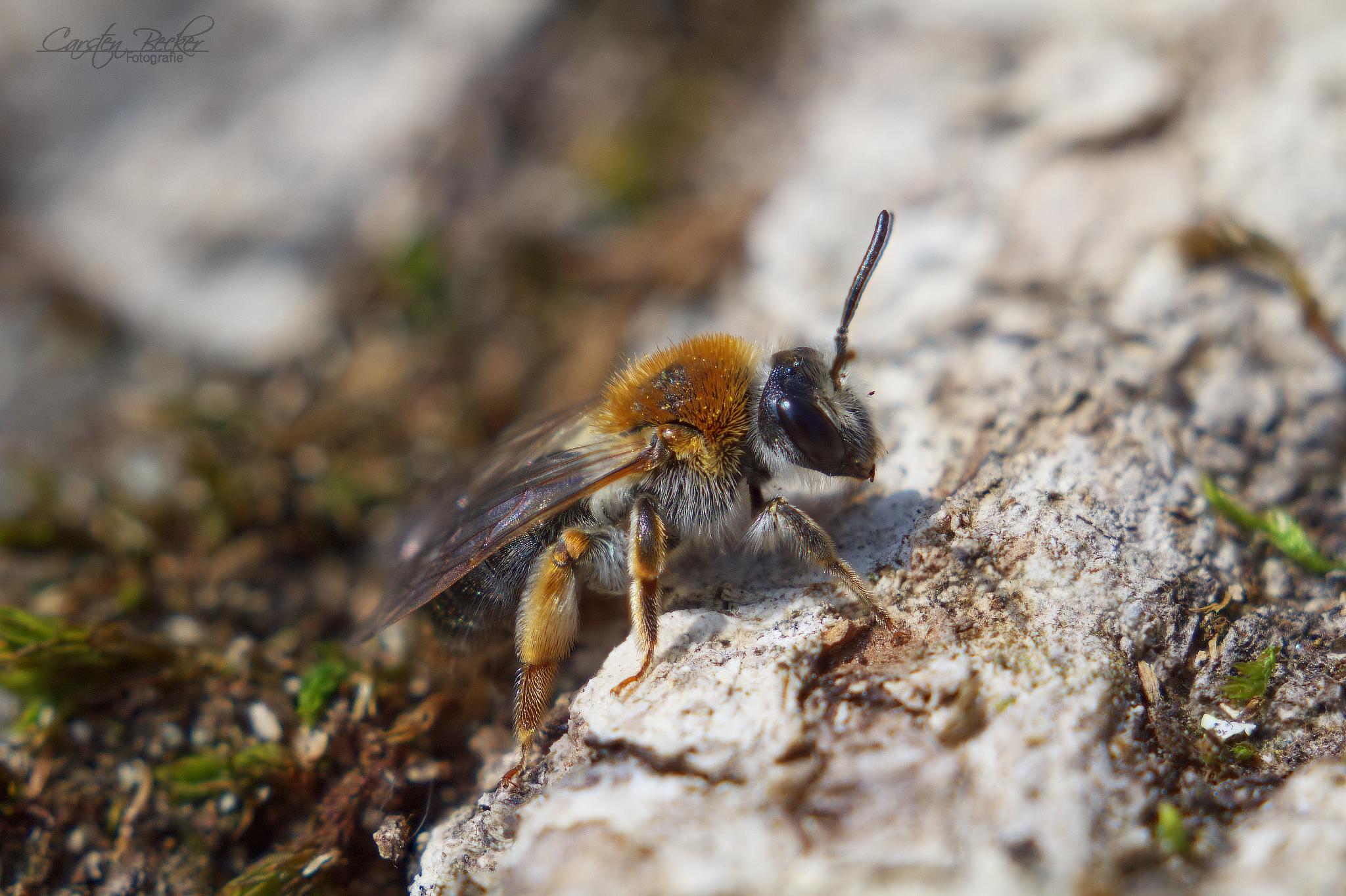 Frühlings-Seidenbiene