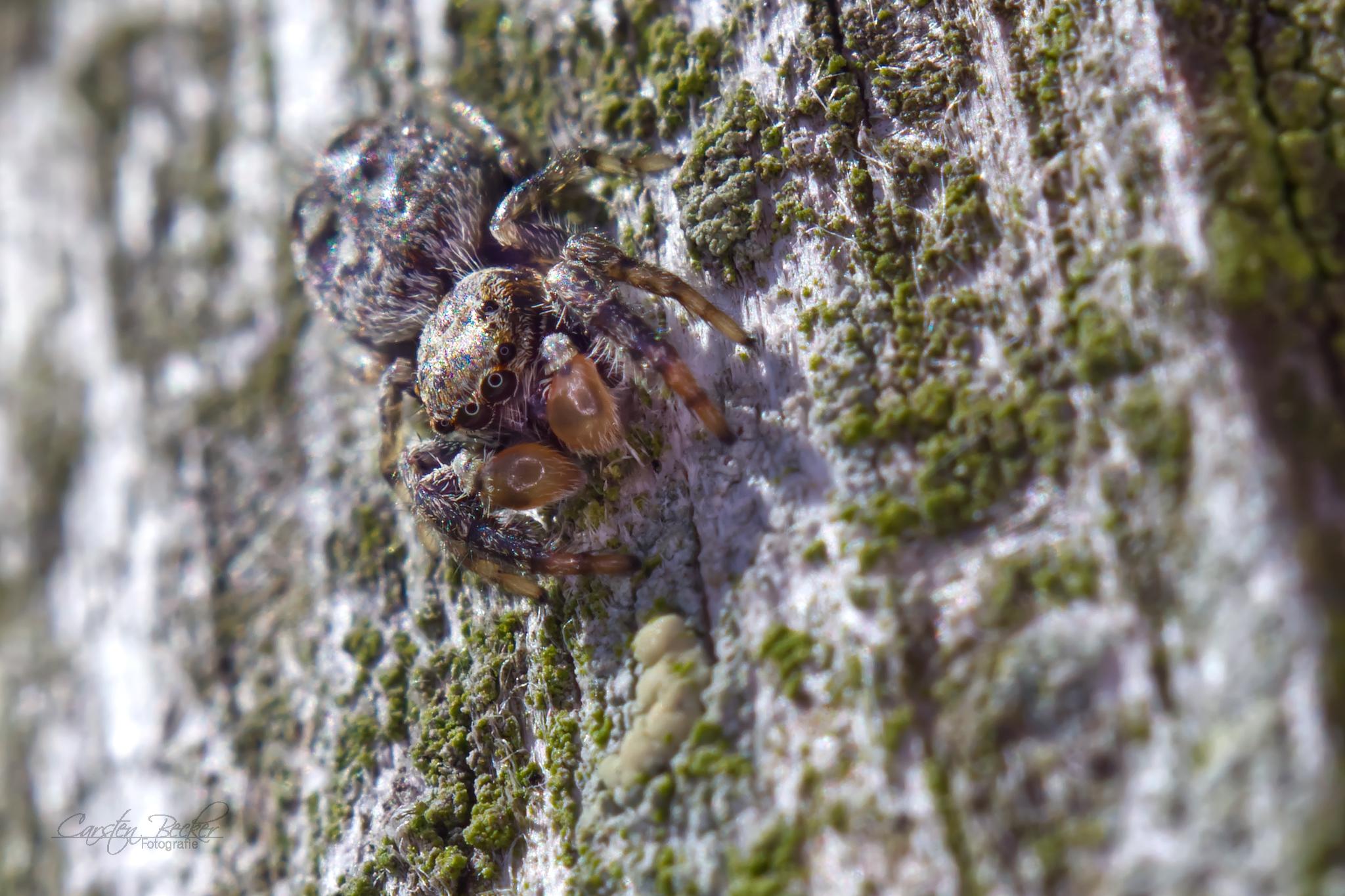 Marpissa Muscosa (m)
