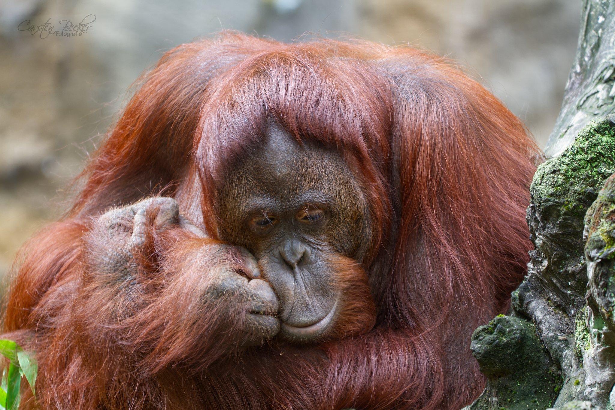 20190913_zoomuenster_orangutan_016904567802870608862